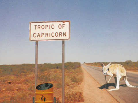 Kangaroo on road